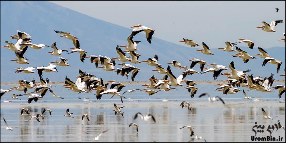 پرندگان-جزیره